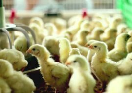 За пять месяцев производство мяса птицы в Казахстане выросло на 6,3%