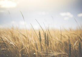 4,5 млн тонн зерна намолочено в Казахстане