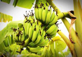 Бананы научились выращивать в Туркестанской области